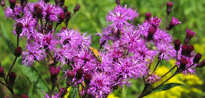 Ironweed—Not the movie