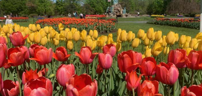We Asked Albany's City Gardener: Will The Tulips Still Bloom?